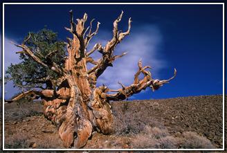 Самые древние деревья Земли